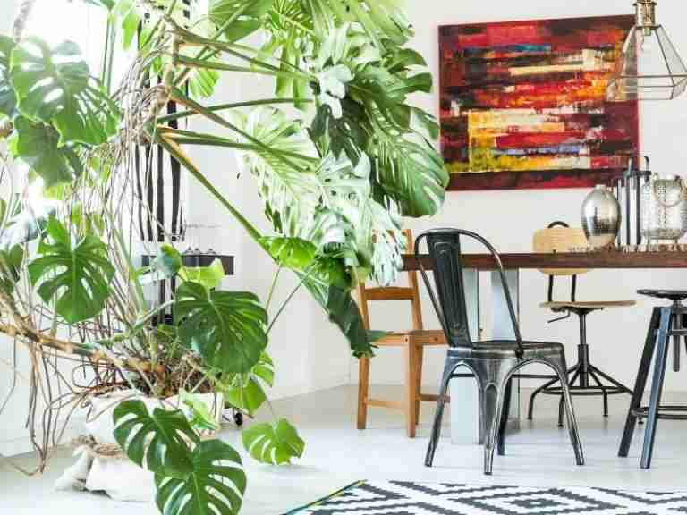 How to Grow a Monstera Deliciosa, A Beginner Care Guide