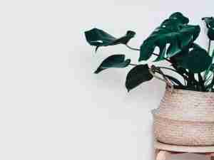 how to care for a Monstera Deliciosa