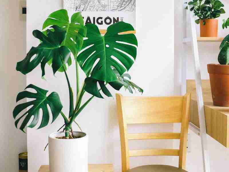 grow a Monstera