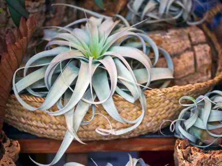 What Are The Easiest Air Plants To Take Care Of?