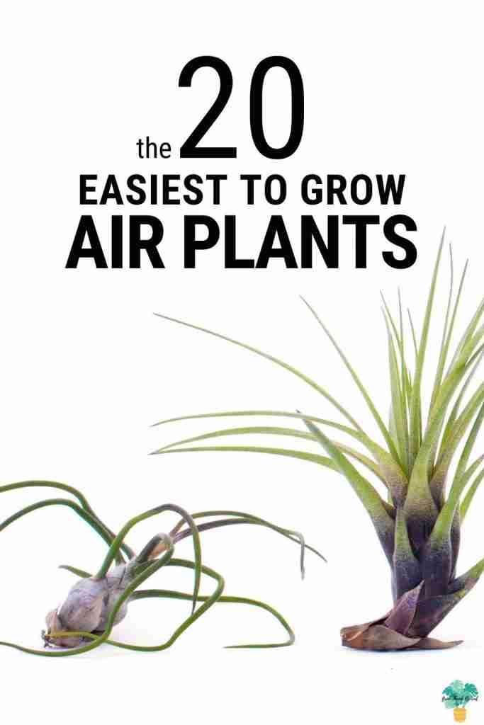 Easiest Air Plants
