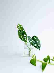 How To Propagate Monstera Deliciosa (Propagate The Swiss Cheese Plant)