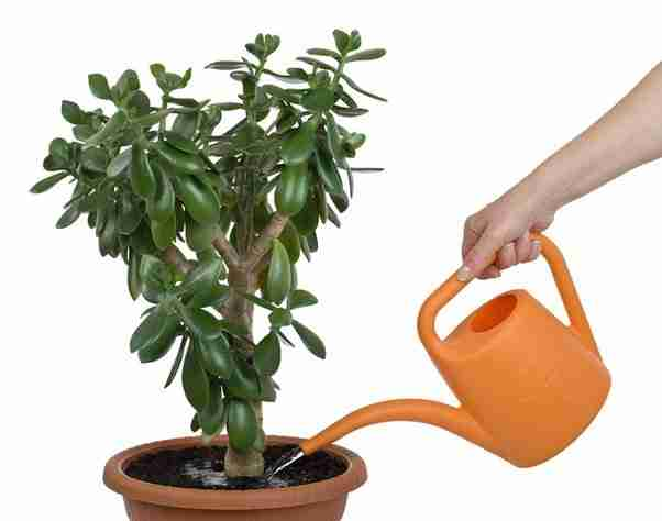 save a dying jade plant