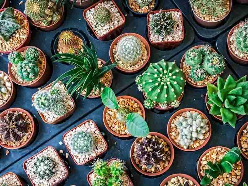 best indoor cactus