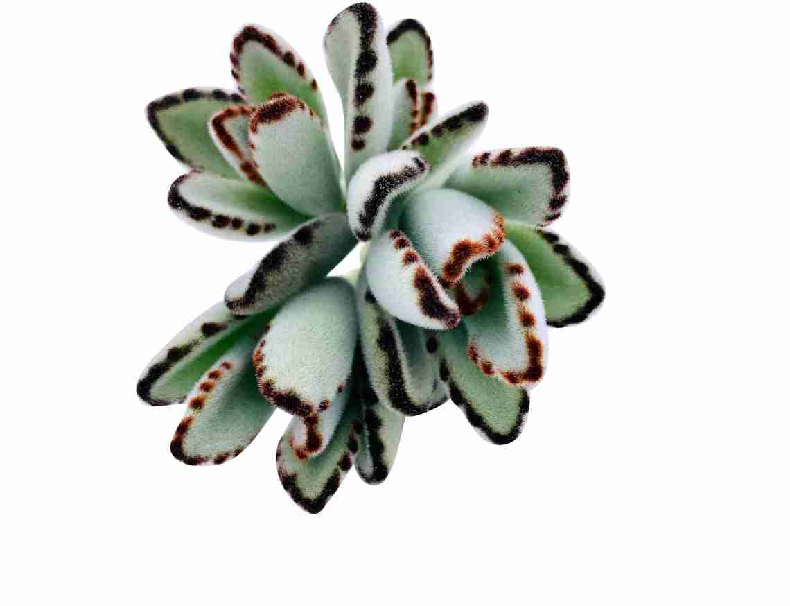 Kalanchoe Tomentosa Panda Plant