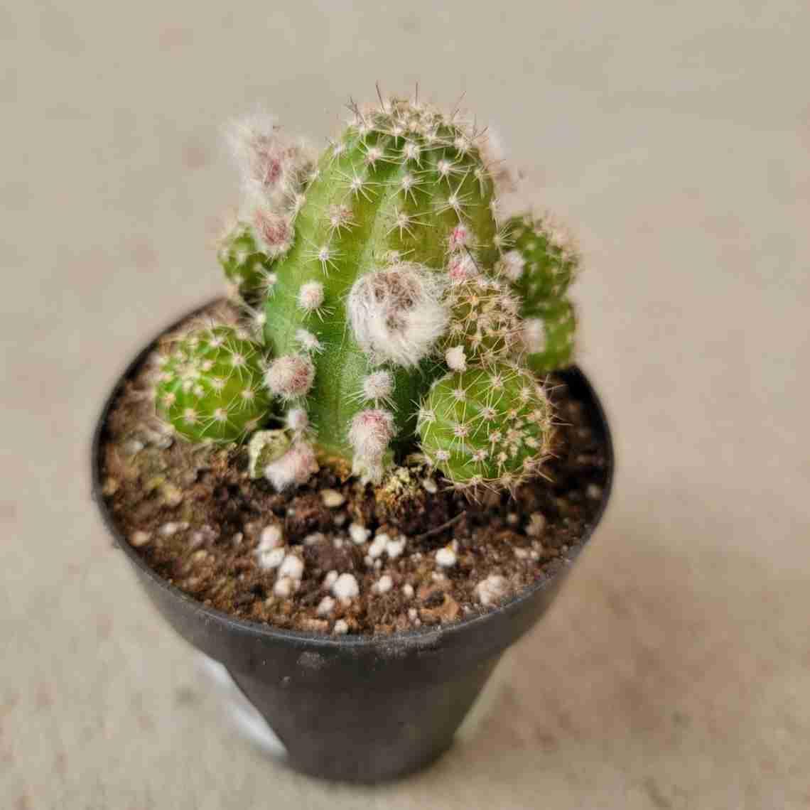 Echinopsis Rose Quartz Peanut Cactus