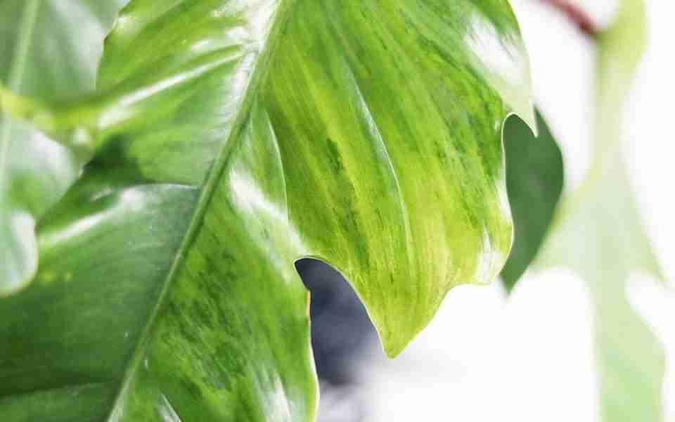 variegated  Philodendron squamiferum