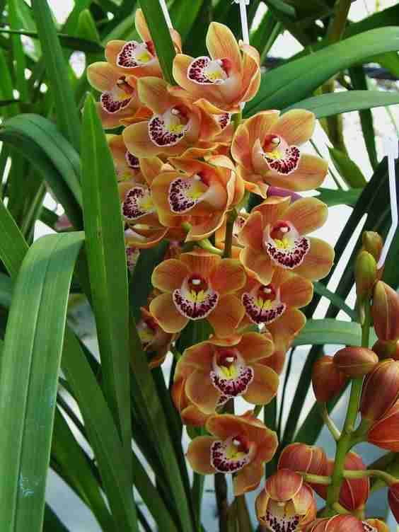"""Cymbidium orchid """"Orange Gem"""""""